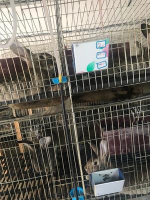 贵州省安顺市平坝县比利时兔 5斤以上