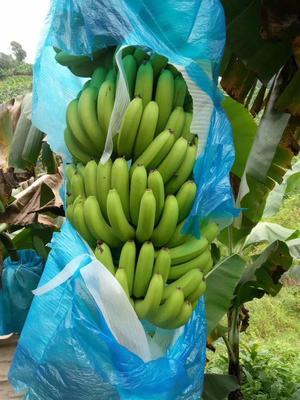 云南省文山壮族苗族自治州文山市西双版纳香蕉 七成熟 40 - 50斤