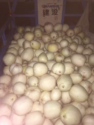 河南省焦作市温县白玉甜瓜 0.5斤以上