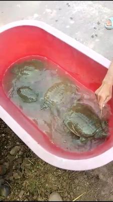 江苏省南京市雨花台区生态甲鱼