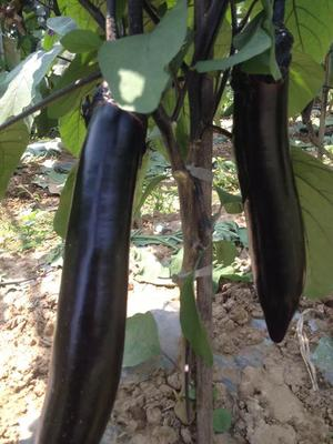 四川省成都市彭州市茄子种子