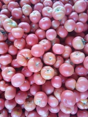 吉林省松原市扶余市硬粉番茄 不打冷 硬粉 弧三以上