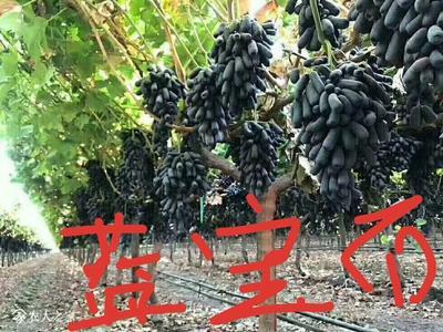 山东省泰安市岱岳区甜蜜蓝宝石葡萄苗