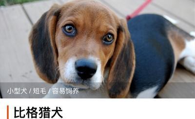 广西壮族自治区来宾市兴宾区比格犬