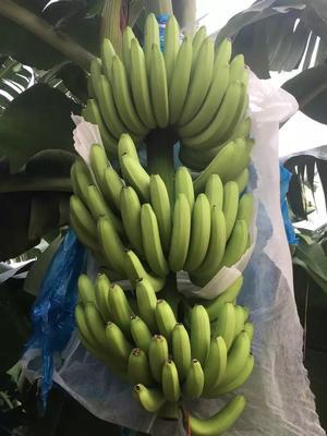 广东省湛江市麻章区广东香蕉1号 七成熟 40 - 50斤