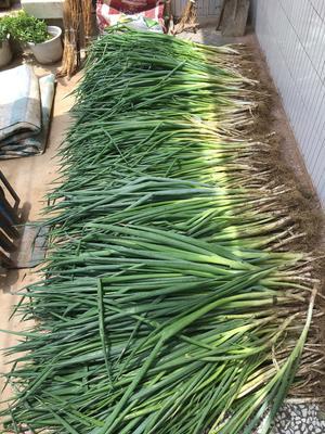 陕西省渭南市富平县长白大葱 2cm左右 25cm以下 净葱