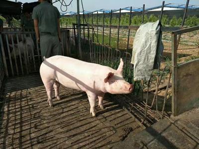 陕西省安康市汉滨区二元仔猪