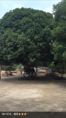 江西省赣州市章贡区桂花树