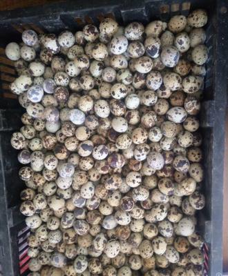 广西壮族自治区防城港市防城区土鹌鹑蛋 食用 箱装