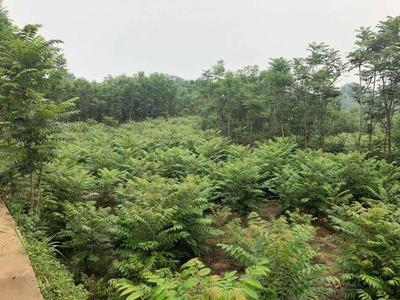 四川省达州市大竹县红油香椿苗 20公分以上