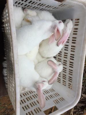 广东省江门市台山市肉兔 5斤以上