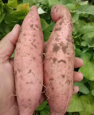这是一张关于龙薯九号 红皮 1~3两的产品图片