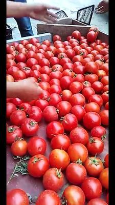 贵州省贵阳市修文县硬粉番茄 不打冷 硬粉 通货
