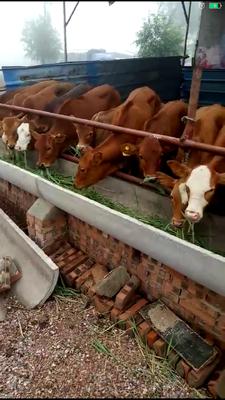 山西省忻州市忻府区肉牛 200-300斤 统货