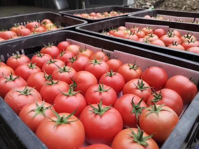 新疆维吾尔自治区伊犁哈萨克自治州察布查尔锡伯自治县硬粉番茄 不打冷 硬粉 弧二以上