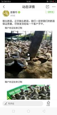 江苏省淮安市涟水县狮头鹅苗