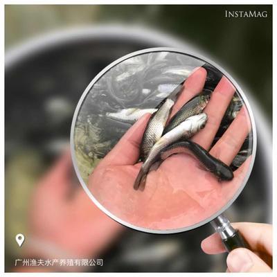 这是一张关于长江草鱼 人工养殖 0.05公斤的产品图片