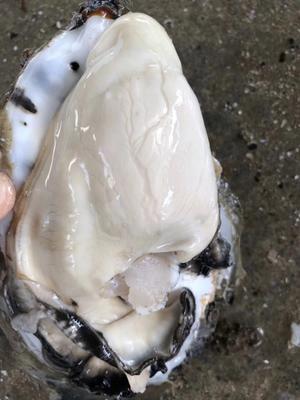 广东省广州市天河区台山生蚝 人工殖养 3-5只/公斤