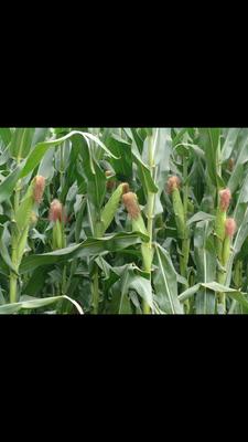 这是一张关于玉米笋 白粒 鲜货的产品图片