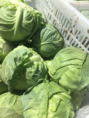 河北省张家口市张北县玲珑黄白菜 3~6斤 毛菜