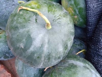 这是一张关于打瓜 有籽 1茬 10成熟 4斤打底的产品图片