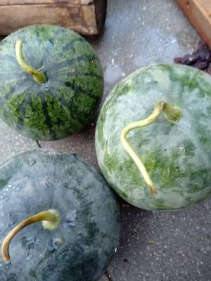 天津武清区打瓜 有籽 1茬 9成熟 3斤打底