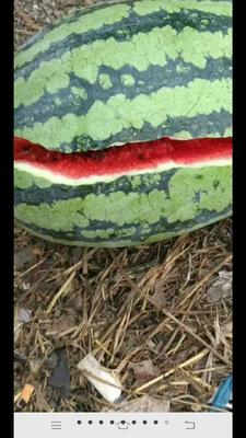 河南省商丘市夏邑县冠龙西瓜 有籽 1茬 9成熟 8斤打底