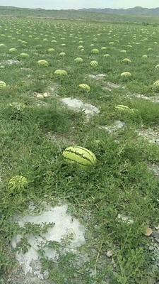 陕西省西安市雁塔区硒砂瓜 有籽 1茬 9成熟 15斤打底