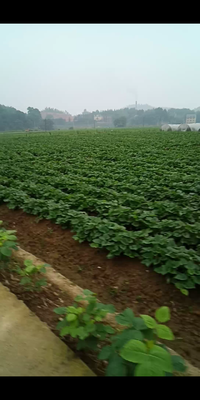 这是一张关于天目小香薯 红皮 混装统货的产品图片