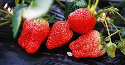 山东省临沂市平邑县四季草莓苗 地栽苗 20~30公分