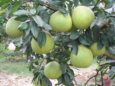 广东省梅州市梅县区红心柚 1.5斤以上