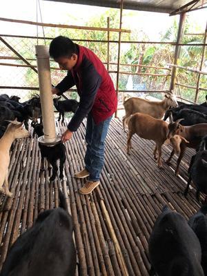 这是一张关于黑山羊 30-50斤的产品图片