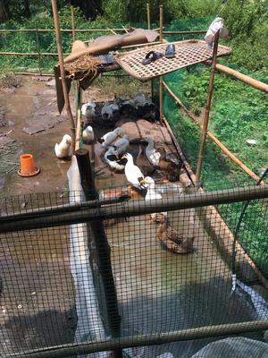 重庆万州区花边鸭 统货 半圈养半散养 4-5斤