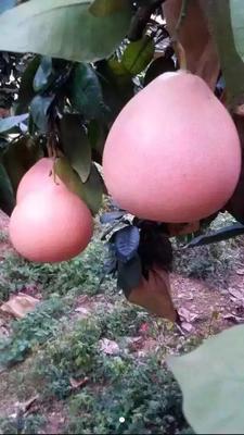 福建省漳州市平和县蜜柚 2斤以上