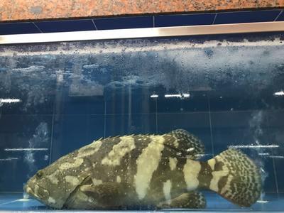 广东省珠海市斗门区珍珠龙胆石斑鱼 人工殖养 6公斤以上