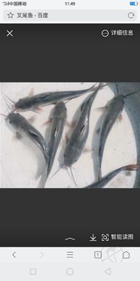 广西壮族自治区崇左市扶绥县斑点叉尾鮰鱼
