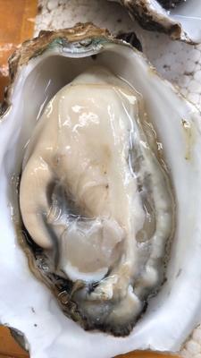 广东省佛山市南海区湛江牡蛎 人工殖养 1-3只/公斤