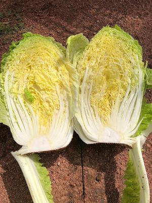 河北省张家口市沽源县玲珑黄白菜 3~6斤 二毛菜