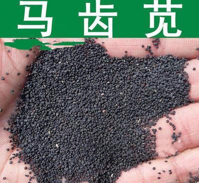 江苏省苏州市吴江市马齿笕种子 种子