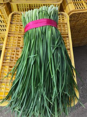 广东省清远市英德市平韭6号韭菜 二茬 30~35cm