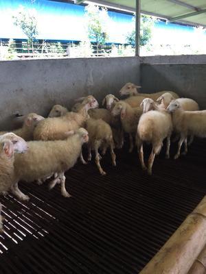 福建省三明市尤溪县湖羊 30-50斤