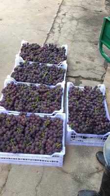 这是一张关于巨峰葡萄 5%以下 1次果 1-1.5斤的产品图片