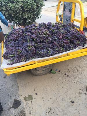 江苏省连云港市东海县巨峰葡萄 10%以下 1次果 0.8-1斤