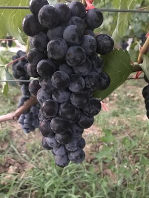山西省临汾市翼城县夏黑葡萄 10%以下 1次果 0.6-0.8斤