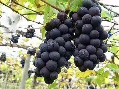湖南省怀化市靖州苗族侗族自治县高山葡萄 5%以下 1次果 1-1.5斤