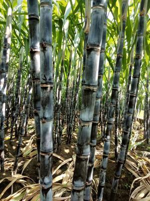 广西壮族自治区崇左市龙州县黑皮甘蔗 2 - 2.5m 5 - 6cm