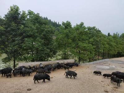 湖南省娄底市新化县藏香猪猪苗