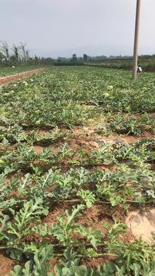 陕西省铜川市耀州区绿宝西瓜 有籽 2茬 9成熟 8斤打底