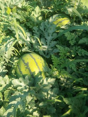 吉林省白城市洮南市京欣西瓜 有籽 1茬 9成熟 10斤打底