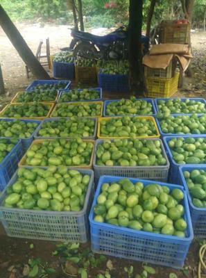 广东省阳江市阳春市越南无籽柠檬 3.3 - 4.5两